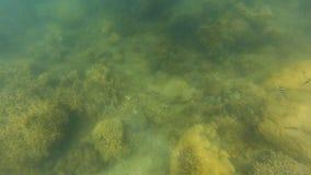Recife de corais e arraia-lixa subaquáticos filme