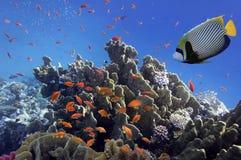 Recife de corais, Mar Vermelho Imagem de Stock