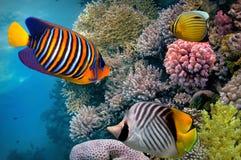 Recife de corais, Mar Vermelho, Egito Imagens de Stock