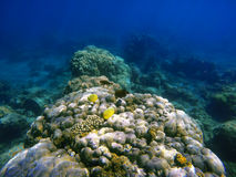 Recife de corais subaquático com os peixes coloridos tropicais Foto de Stock