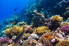Recife de corais subaquático do Mar Vermelho Imagens de Stock