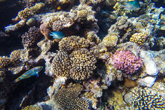 Recife de corais subaquático do Mar Vermelho Fotos de Stock Royalty Free