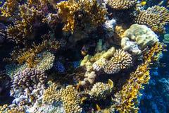 Recife de corais subaquático do Mar Vermelho Imagens de Stock Royalty Free