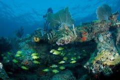 Recife Legde com agregação dos peixes Fotografia de Stock