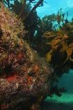 Recife rochoso com alga Imagens de Stock Royalty Free