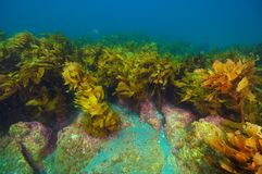 Recife rochoso com floresta da alga foto de stock