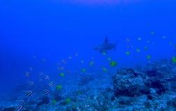 Recife tropical com o tubarão dos peixes e de Hammerhead Imagem de Stock