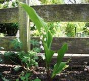 Recinto del confine del giardino e del mughetto Immagini Stock Libere da Diritti