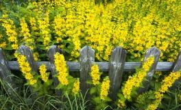 Recinto di legno circondato dai fiori gialli Immagine Stock Libera da Diritti