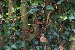 Recinto di legno con le foglie verdi dell'edera come fondo, struttura immagini stock