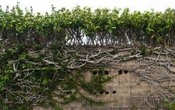 Recinto di pietra coperto di piante verdi e di radici immagini stock
