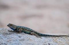 Recinto occidentale Lizard in Joshua Tree National Park Immagine Stock Libera da Diritti