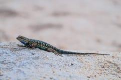 Recinto occidentale Lizard in Joshua Tree National Park Immagini Stock Libere da Diritti