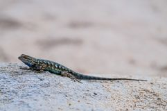 Recinto occidentale Lizard in Joshua Tree National Park Fotografia Stock Libera da Diritti