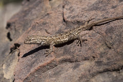Recinto occidentale Lizard Sunbathing Fotografia Stock