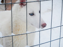 Recinzione bianca del husky durante la corsa su neve nell'inverno, Lapponia, Finlandia Fotografia Stock