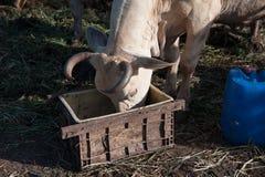 Recinzione crescente dei bovini da carne Immagini Stock Libere da Diritti