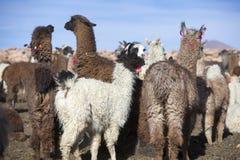 Recinzione dei lama con cielo blu, Bolivia Fotografia Stock