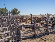Recinzione di legno tradizionale o penna del bestiame con la mandria di mucche nel deserto del Kalahari del Botswana, Africa meri Immagine Stock