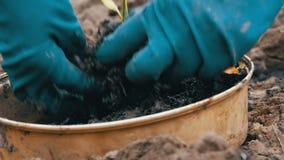 Recipiente com os tiros novos da pimenta doce prontos para transplantar na terra As mãos fêmeas escolhem plantas novas filme