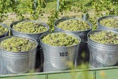 Recipientes completamente das uvas brancas no reboque Imagem de Stock