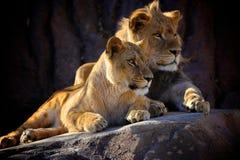 Reclinación africana de dos leones Foto de archivo libre de regalías