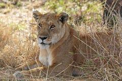 Reclinación africana de la leona Imagen de archivo