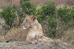 Reclinación africana de la leona Foto de archivo libre de regalías