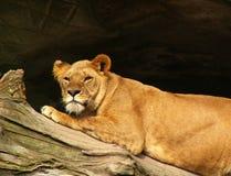 Reclinación africana del león foto de archivo libre de regalías