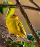 Reclinación amarilla del canario Foto de archivo libre de regalías