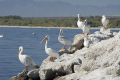 Reclinación americana de los pelícanos blancos Fotos de archivo libres de regalías