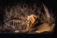 Reclinación asiática del león imagen de archivo libre de regalías
