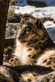 Reclinación blanca del leopardo Fotografía de archivo libre de regalías