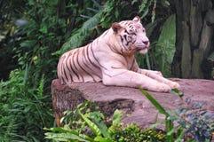 Reclinación blanca del tigre Foto de archivo