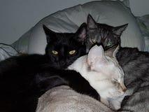 Reclinación cariñosa de tres gatos fotografía de archivo