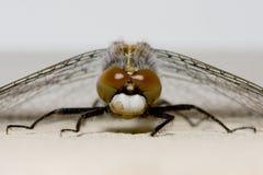 Reclinación común de la libélula del Darter Fotografía de archivo libre de regalías
