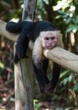 Reclinación de cabeza blanca del mono Fotografía de archivo libre de regalías