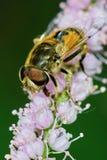Reclinación de la abeja Imágenes de archivo libres de regalías
