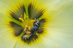 Reclinación de la abeja Imagen de archivo libre de regalías