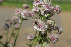 Reclinación de la abeja de la miel Imagen de archivo libre de regalías