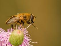 Reclinación de la abeja de la miel del cardo rosado Imágenes de archivo libres de regalías