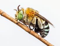 Reclinación de la abeja del cuco Imágenes de archivo libres de regalías