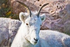 Reclinación de la cabra de montaña Fotos de archivo libres de regalías