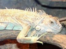 Reclinación de la iguana fotos de archivo libres de regalías