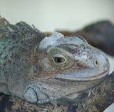 Reclinación de la iguana Imágenes de archivo libres de regalías