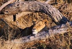 Reclinación de la leona Fotos de archivo libres de regalías