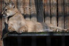 Reclinación de la leona Foto de archivo