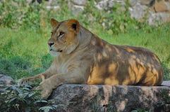 Reclinación de la leona Fotografía de archivo libre de regalías