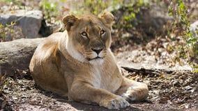 Reclinación de la leona Imágenes de archivo libres de regalías