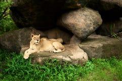 Reclinación de la leona y del león Imágenes de archivo libres de regalías
